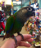 Handfed Pearly Conure, 9 weeks old.