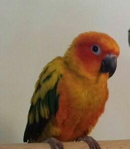 Need Help in Finding Our Beloved Sun Conure who's Missing