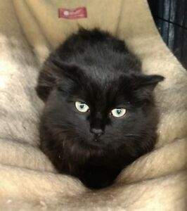 "Young Female Cat - Domestic Long Hair (Black): ""Yoko"""