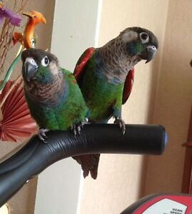 ❤♥☆♥ CONURE ♥ Babies with Cage and Food ♥☆♥❤ Cambridge Kitchener Area image 2