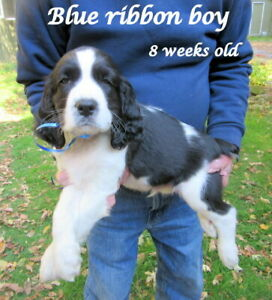 ENGLISH SPRINGER SPANIEL PUP,SCKC REG.HOME RAISED,READY OCT.23RD