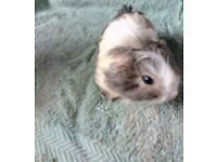Lovely baby guinea pigs looking for their new homes