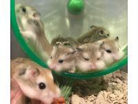 Dwarf Hamster Pups (Roborovski Hamster)