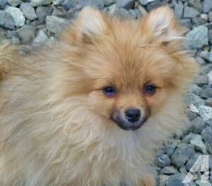 WANTED MALE T Cup Pomeranian