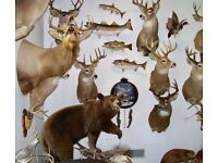 Taxidermy Wanted. Anything Considered.
