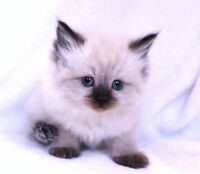 * SEAL POINT RAGDOLL BABY CATS *