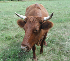 **REDUCED**   BRED COW Kawartha Lakes Peterborough Area image 3