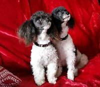 CKC registered Tiny Teacup and Toy Parti Poodle pups *sold*