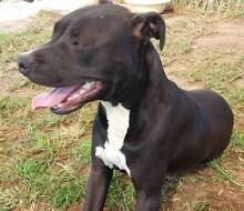 American Staffordshire Terrier - 1yr old - needs new home Silverdale Wollondilly Area Preview