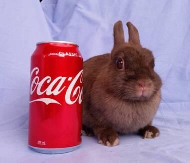 Purebred Netherland Dwarf Rabbit - Chocolate Adult Doe