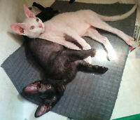 chatons peterbald F3