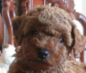 Female Red toy poodle