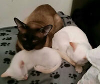 ❀⋰❀MAGNIFIQUES CHATONS SIAMOIS❀⋰❀BEAUTIFUL SIAMESE KITTENS❀⋰❀