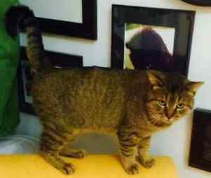 KLAWS: Found Ardmore Ave in Lindsay young smokey gray tabby