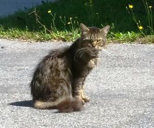 KLAWS: Reunited! St.Peter S/Queen St,Lindsay, intact male tabby