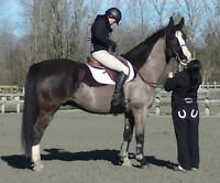 Lovely and kind Amateur WB gelding for sale