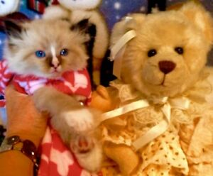 Gorgeous seal mitted Ragdoll