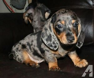 Looking for female miniature dachshund