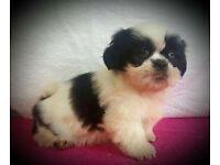KC Registered Shihtzu pups
