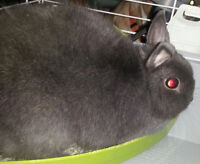 4 year old dwarf rabbit Pet home only.