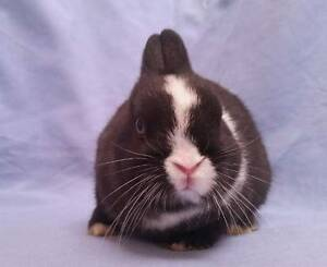 Netherland Dwarf Rabbit Baby - Blue Eyed Sweetheart READY NOW Joondalup Joondalup Area Preview