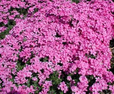 - Red Wings Creeping Phlox 6 Plants in 3-1/2 inch Pots