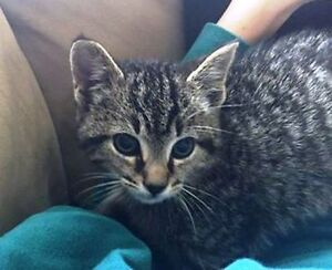 KLAWS: FOUND KENT ST W,Lindsay 8 week old kitten, Loblaws