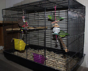 Breeding Pair of Parrotlets