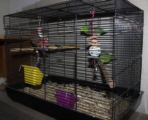 Breeding Pair Parrotlets