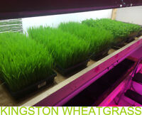 Fresh Organic grow Wheatgrass & Sprouts, Free Delivery!