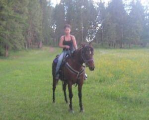 Arabian Morgan Cross Horse