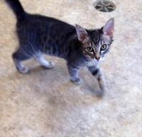 """Young Male Cat - Domestic Short Hair-gray: """"Andy"""""""