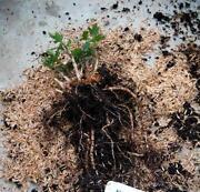 Hops Plants