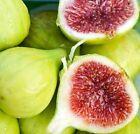 Fig Plant Fruit Plants