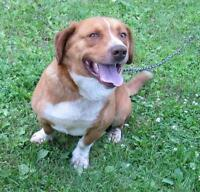 "Adult Male Dog - Basset Hound-Beagle: ""Vinnie"""