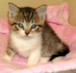 "Baby Female Cat - Tabby - Brown: ""Jolene"""