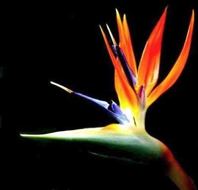 BIRD OF PARADISE Plant Potted Exotic Orange Flower Strelitzia Reginae