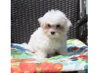 2 sweet male and female Maltese puppies