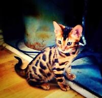 Bengal Cubs Available - TOP QUALITY