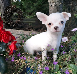 Chihuahua   Adopt Dogs & Puppies Locally in Toronto (GTA