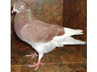 Rollers / Tumbler Pigeons