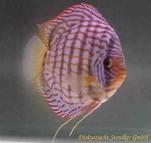 Poissons Discus Stendker, Discus fish St. John's Newfoundland image 3