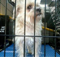 KLAWS:Found by CKL Bylaw Bobcaygeon Locks:Poodle/Maltese X