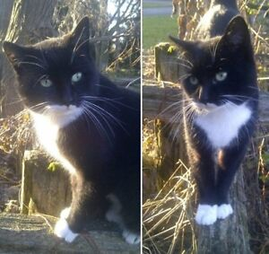 KLAWS: LOST Bulmers/Cedartree Rd, Fenelon intact male kitty