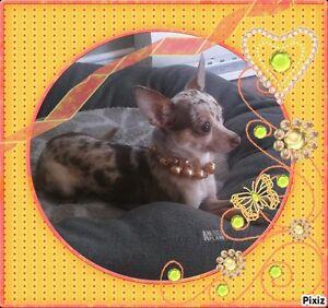 *LA MAISONNÉE* 5 Jolies Chihuahuas Auront Leur bébés 20/01/2016