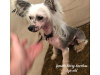 Chinese crested | Dogs & Puppies for Sale - Gumtree