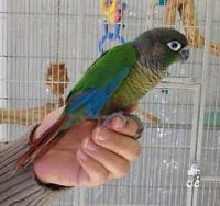 Green Cheek conure baby with Food and cage
