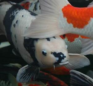 Fish gumtree australia free local classifieds for Local koi for sale