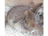French Lop Ear - giant breed