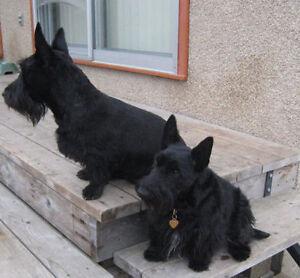 CKC Registered Scottish Terrier - Fall Puppies